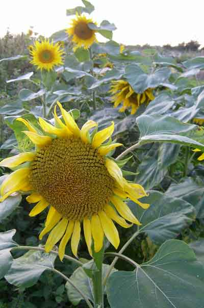 sunflowers_30_8_2007.jpg